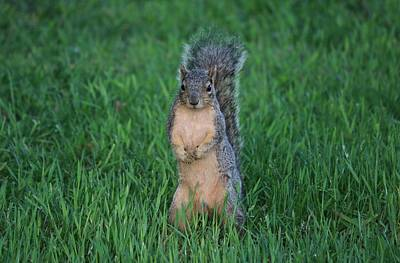 Door Locks And Handles - Squirrel Standing in Grass - 2 by Christy Pooschke