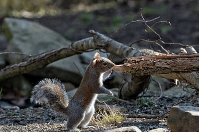 Photograph - Squirrel Standing  by Joseph Caban