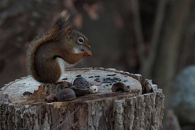 Photograph - Squirrel Stocking Up For Winter by Jeff Folger