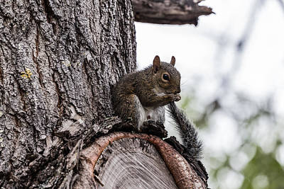 Photograph - Squirrel Tail by Christopher L Thomley