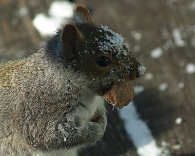 Photograph - Squirrel With Brazil Nut by Barry Doherty
