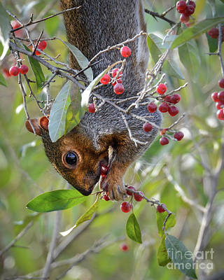 Photograph - Squirrels Like Berries Too by Amy Porter