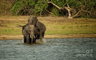 Photograph - Sri Lankan Elephants  by Venura Herath