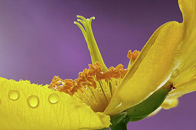 Photograph - St Johns Wort Flower by Shirley Mitchell
