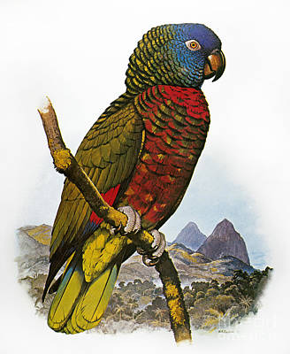 Photograph - St Lucia Amazon Parrot by Granger