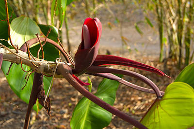 Photograph - St. Lucia Philodendron Flower by Daniel Jean-Baptiste