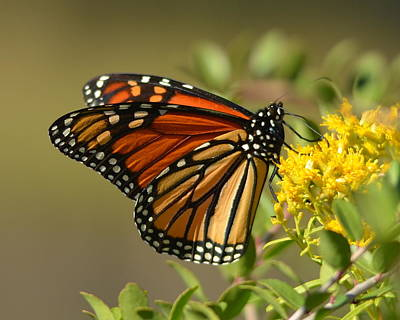 Photograph - St. Marks Monarch Butterfly by Carla Parris