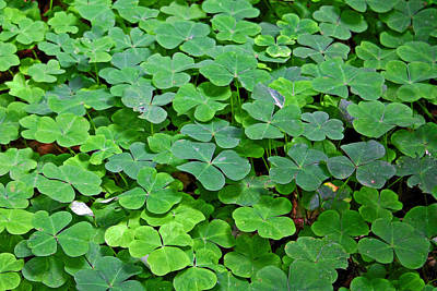 Photograph - St Patricks Day Shamrocks - First Green Of Spring by Christine Till