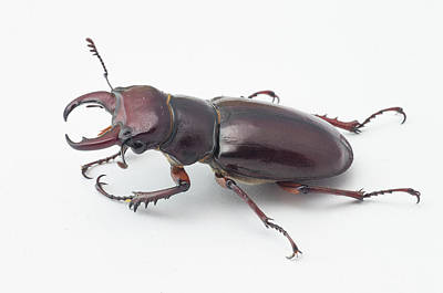 Photograph - Stag Beetle by Jim Zablotny