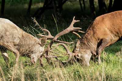 Photograph - Stag Fight by Michael Mogensen