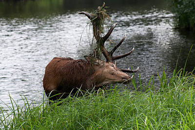 Photograph - Stag In Forest Lake by Michael Mogensen