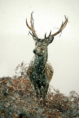 Photograph - Stag In Snow by Gavin Macrae