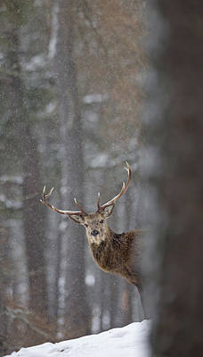 Photograph - Stag Looking Round Tree by Peter Walkden