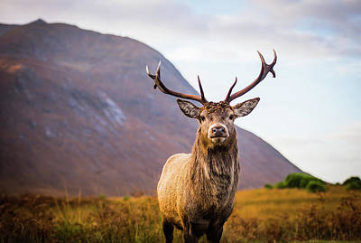 Stag Photograph - Stag  by Mark Mc neill