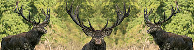 Photograph - Stag Panorama by Michael Mogensen