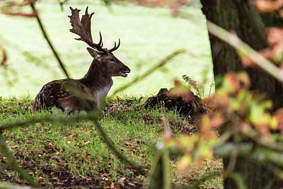 Photograph - Stag Resting In Forrest by Jacek Wojnarowski