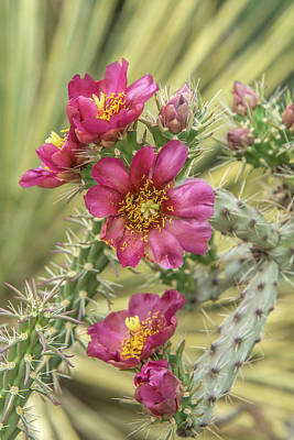 Photograph - Staghorn Cactus Flowers by Tam Ryan