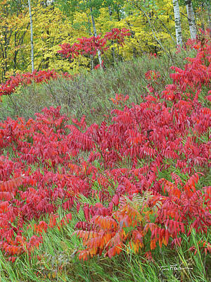 Photograph - Staghorn Sumac by Tim Fitzharris