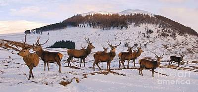 Photograph - Stags Gathering by John Kelly