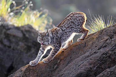 Lynx Photograph - Stalking At Sunset by Gianfranco Barbieri
