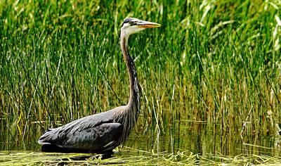 Photograph - Stalking Great Blue Heron by Debbie Oppermann