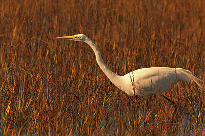 Photograph - Stalking Great Egret by Ram Vasudev