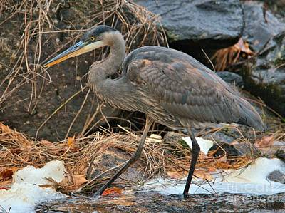 Photograph - Stalking Heron by Debbie Stahre