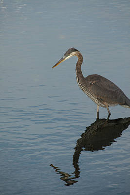 Photograph - Stalking Heron by Karol Livote