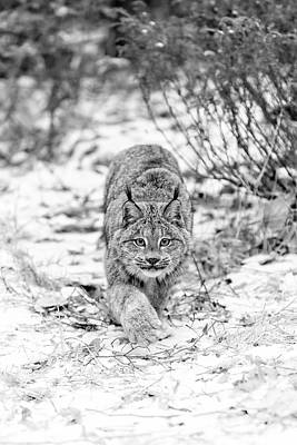 Photograph - Stalking Lynx by Wes and Dotty Weber