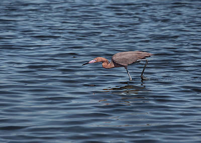 Photograph - Stalking Reddish Egret by John M Bailey