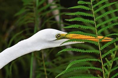 Photograph - Stalking The Hopper - Egret by KJ Swan