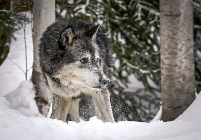 Photograph - Stalking Wolf by Athena Mckinzie
