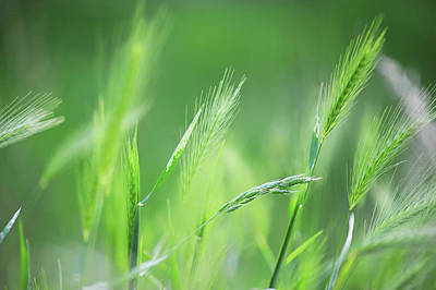 Photograph - Stalks Of Barley by Jenny Rainbow