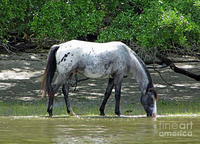 Photograph - Stallion Eating Salt Marsh Grass  by D Hackett