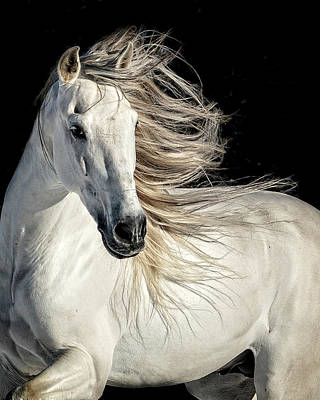 Photograph - Stallion Strut by Wes and Dotty Weber