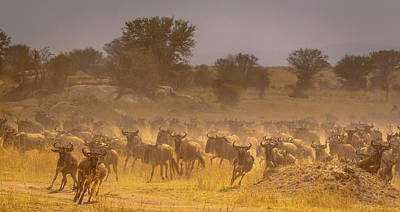 Photograph - Stampede-serengeti Plain by Tim Bryan