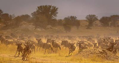Photograph - Stampede-serengeti Plain by Tim Bryan