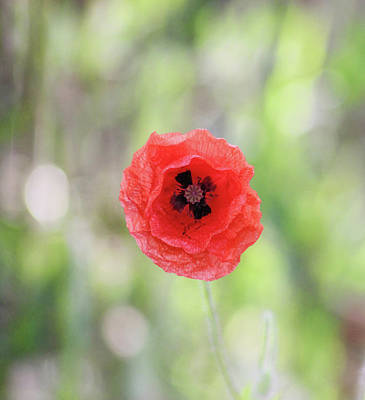 Garden Scene Photograph - Stand Alone Poppy by Martin Newman