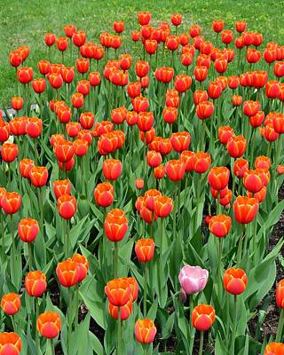 Photograph - Stand Apart Tulips by KJ Swan