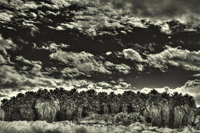 Photograph - Stand Of Ancient Palms by Roger Passman