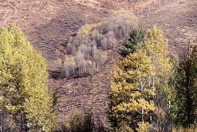 Photograph - Stand Of Aspen by John Schneider