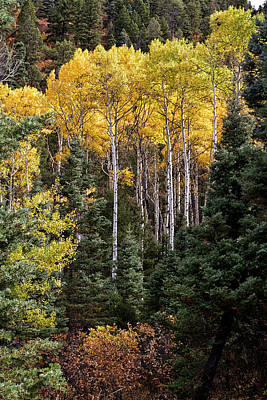 Photograph - Stand Of Aspen by Robert Woodward