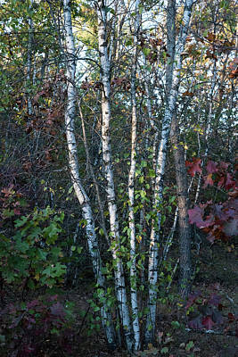 Photograph - Stand Of Birch by Brian Stricker