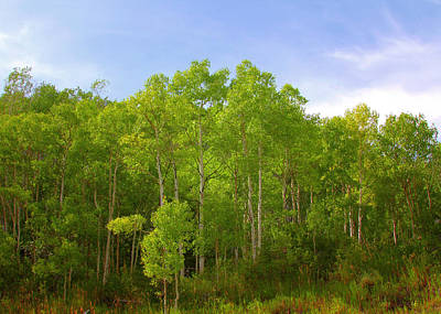 Lush Photograph - Stand Of Quaking Aspen Trees by Christine Till