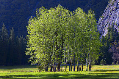Yosemite Valley Photograph - Stand Of Trees Yosemite Valley by Garry Gay