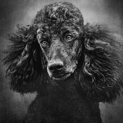 Standard Poodle Photograph - Standard Poodle Portrait 1 by Wolf Shadow  Photography