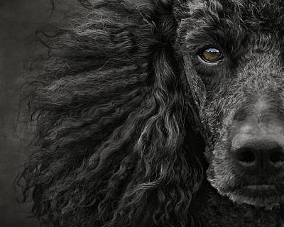 Poodle Wall Art - Photograph - Standard Poodle Portrait by Wolf Shadow Photography