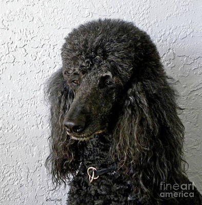 Photograph - Standard Poodle by Terri Mills