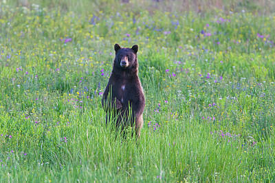 Photograph - Standing Black Bear by Mark Miller