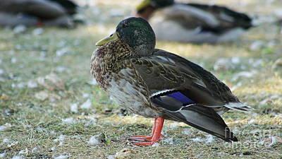 Photograph - Standing Duck by Erick Schmidt